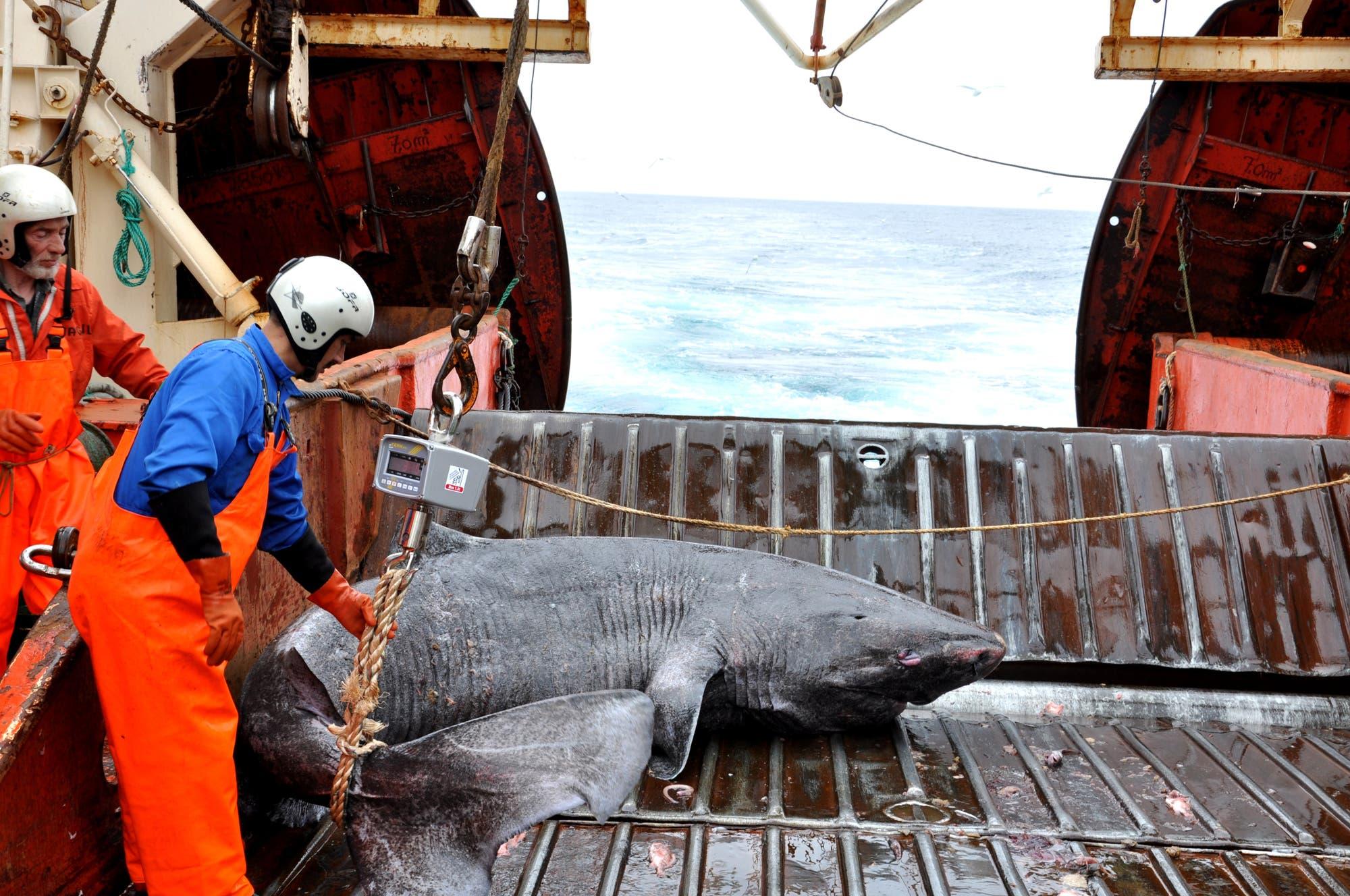 Grönlandhai auf Forschungsboot