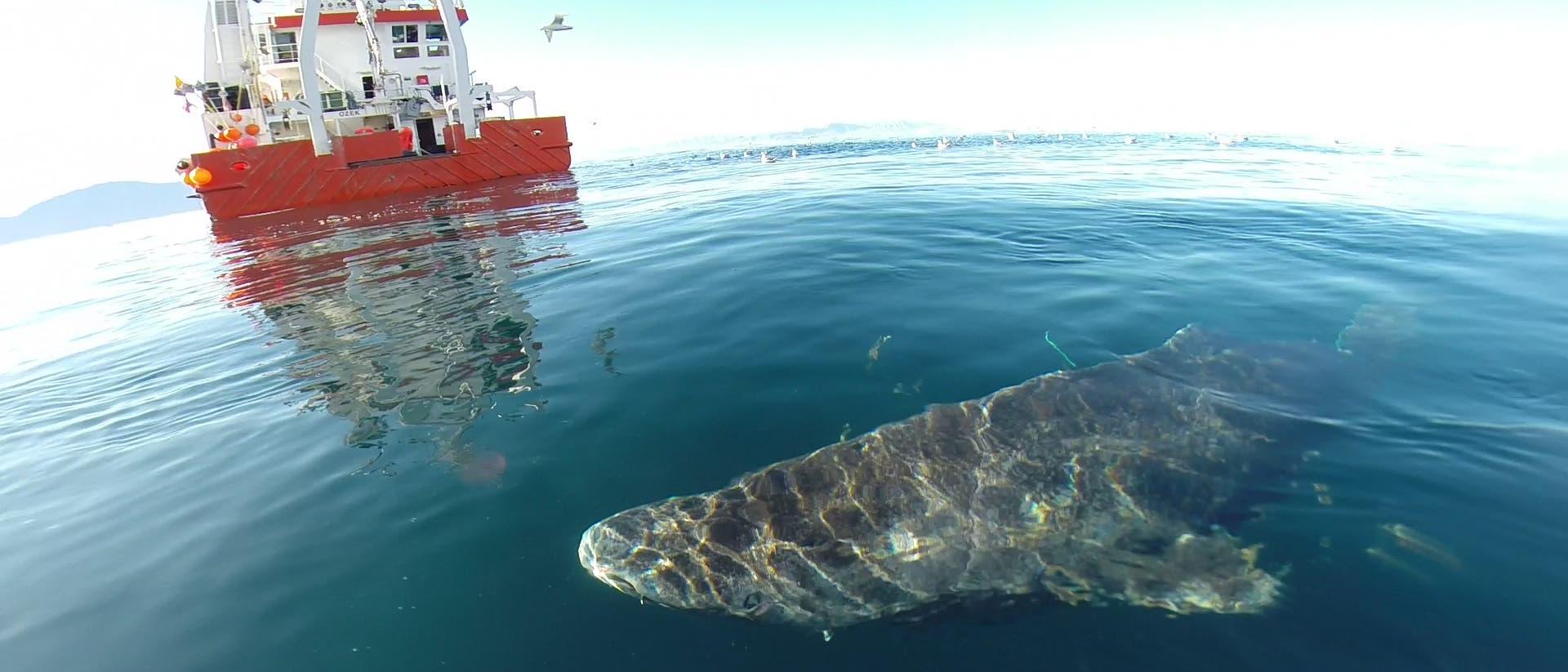 Grönlandhai