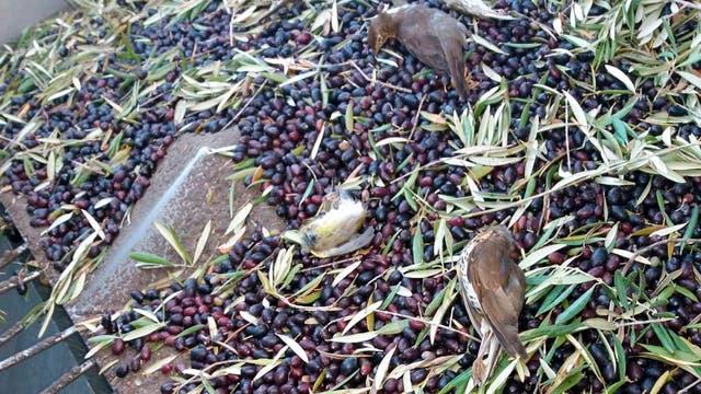 Tote Vögel bei der Olivenernte