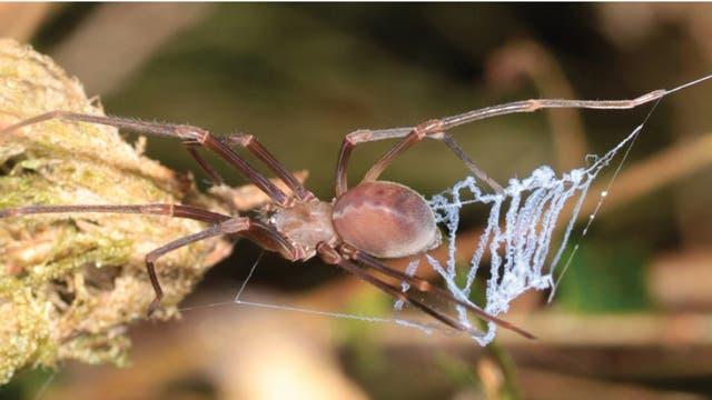 Cribellate Spinne mit Fangnetzkonstruktion