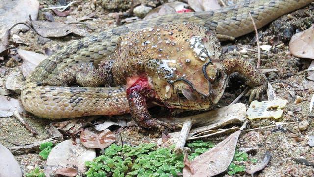 Eine Schlange steckt mit dem Kopf in einer blutverschmierten, toten Kröte.