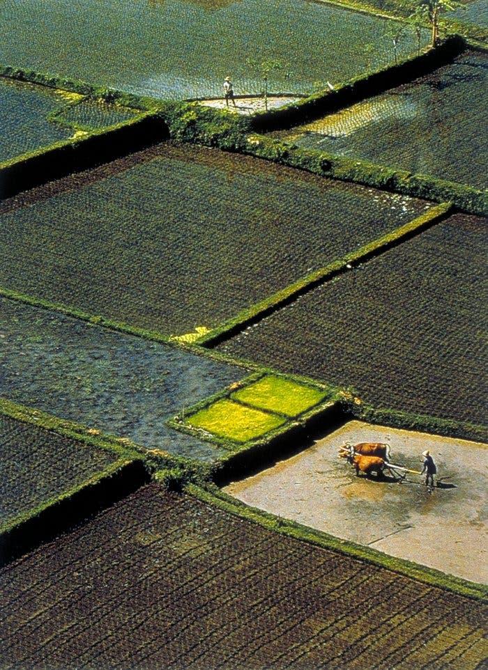 Reisanbau in Java