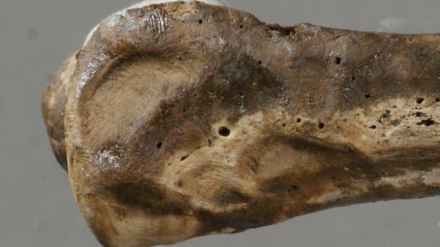 <i>Osedax</i>-Spuren in Vogelknochen