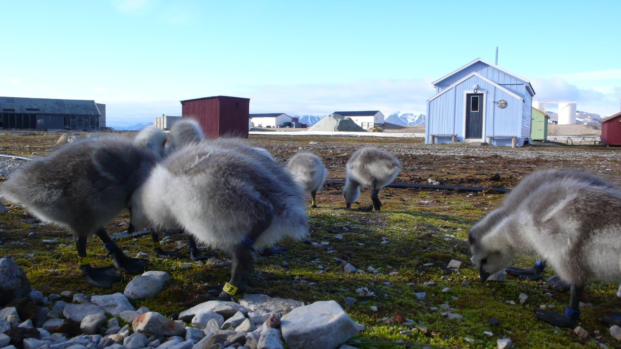 Mehrere flauschige Nonnengans-Küken vor Ny Ålesund auf Spitzbergen.