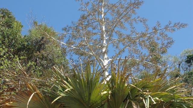 Palme mit Blütenstand
