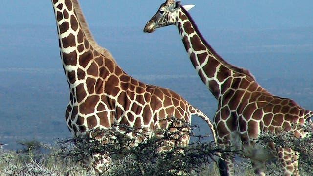 Giraffen vor Akazien