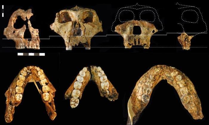 <i>Paranthropus</i>-Fossilien