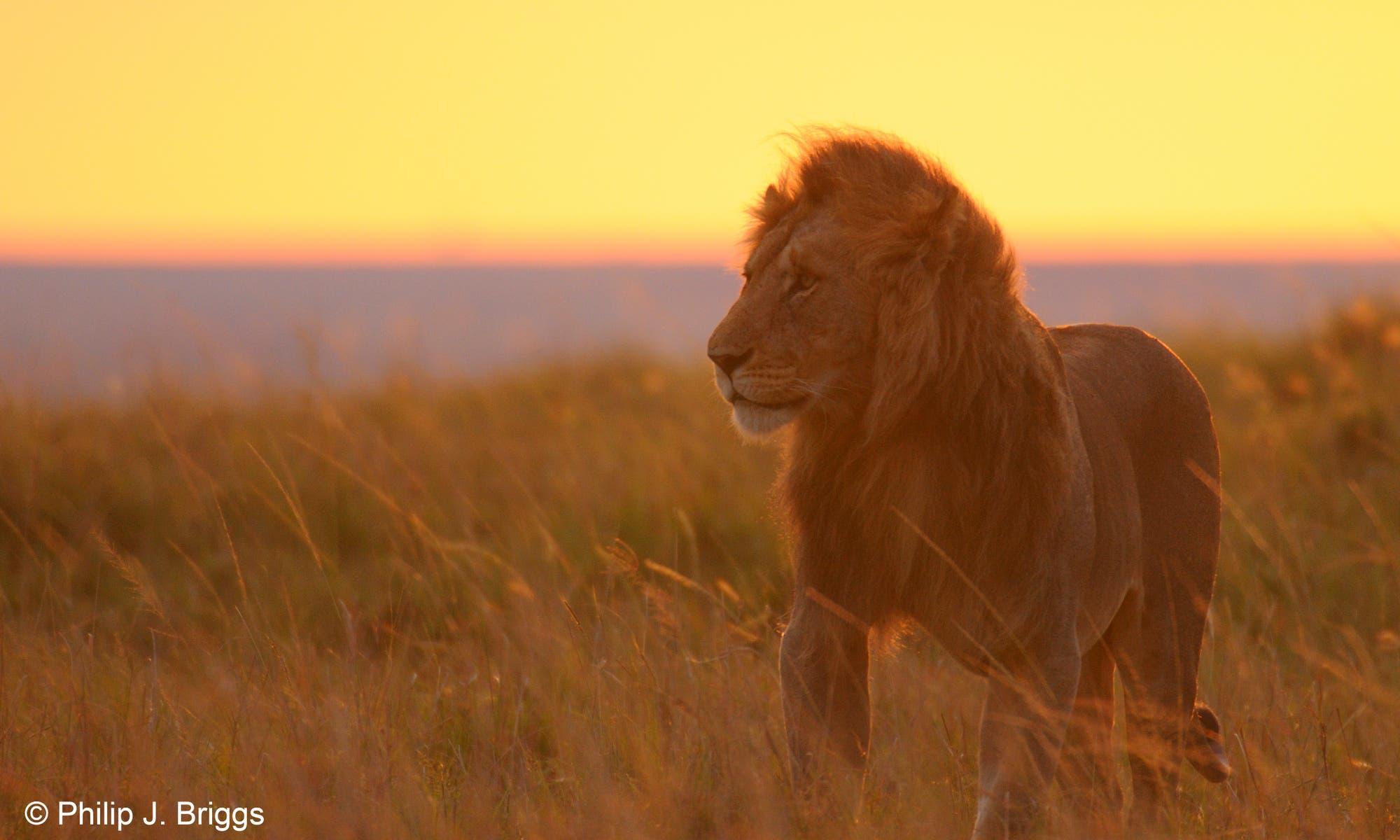 Abenddämmerung färbt Löwen rot