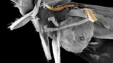 Fliege transportiert zwei Flügelläuse