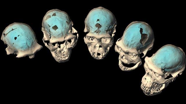 Schädel von H. erectus