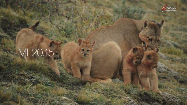 Eine Pumafamilie in Patagonien