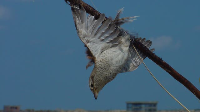Singvogel stirbt an Leimrute