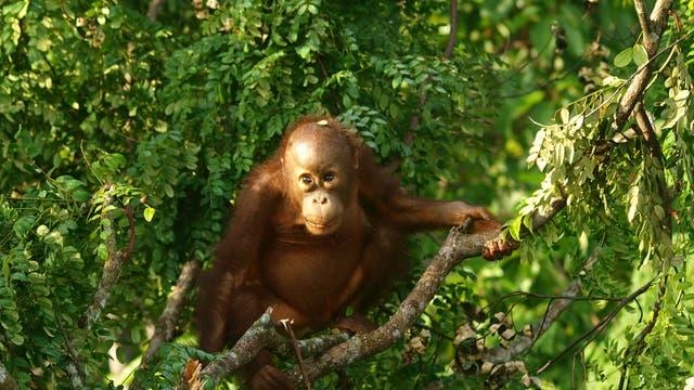 Ein Orang-Utan im Regenwald