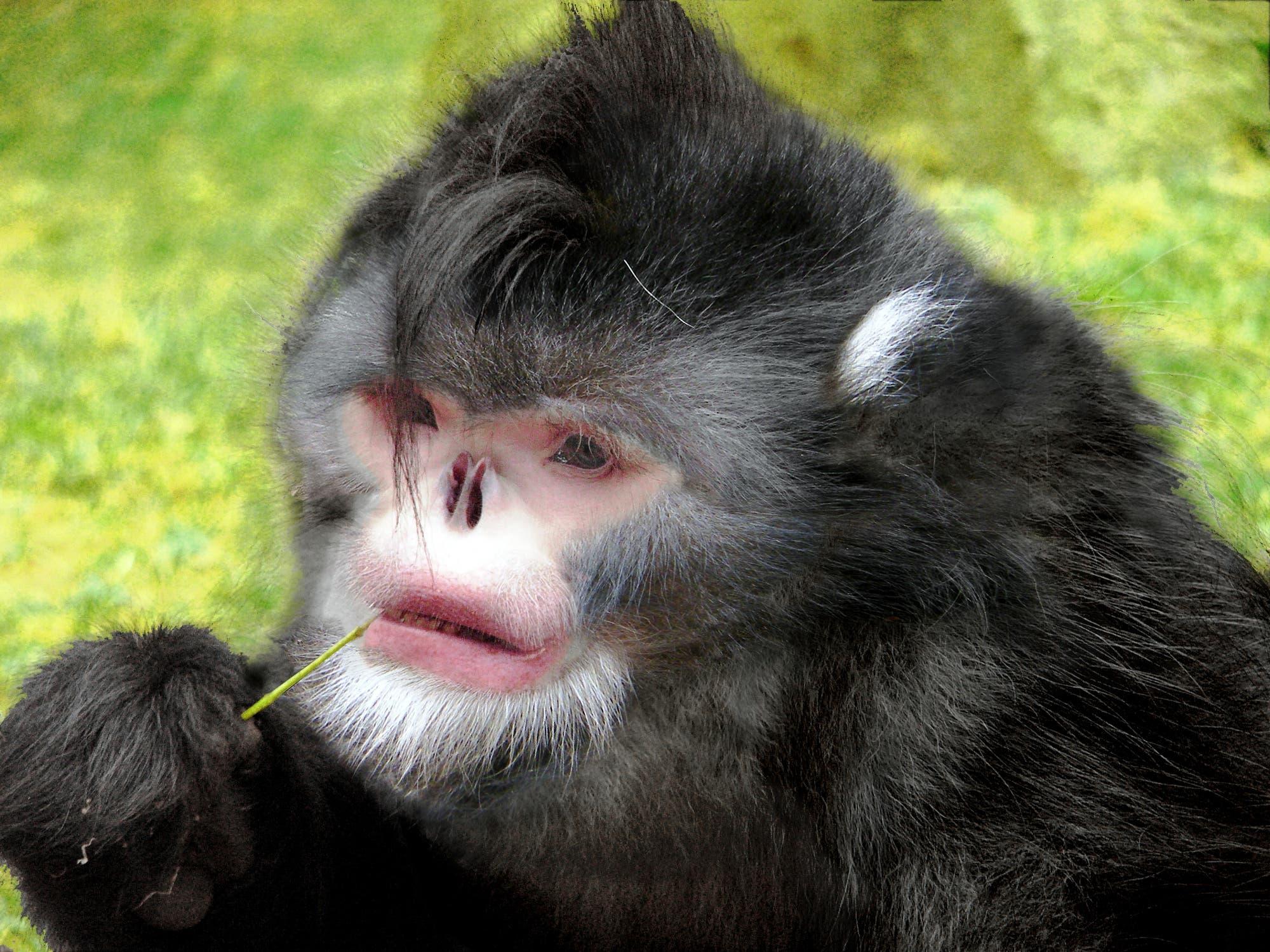 Stumpfnasenaffe hat extrem kurze Nase, in die sogar Regenlaufen kann