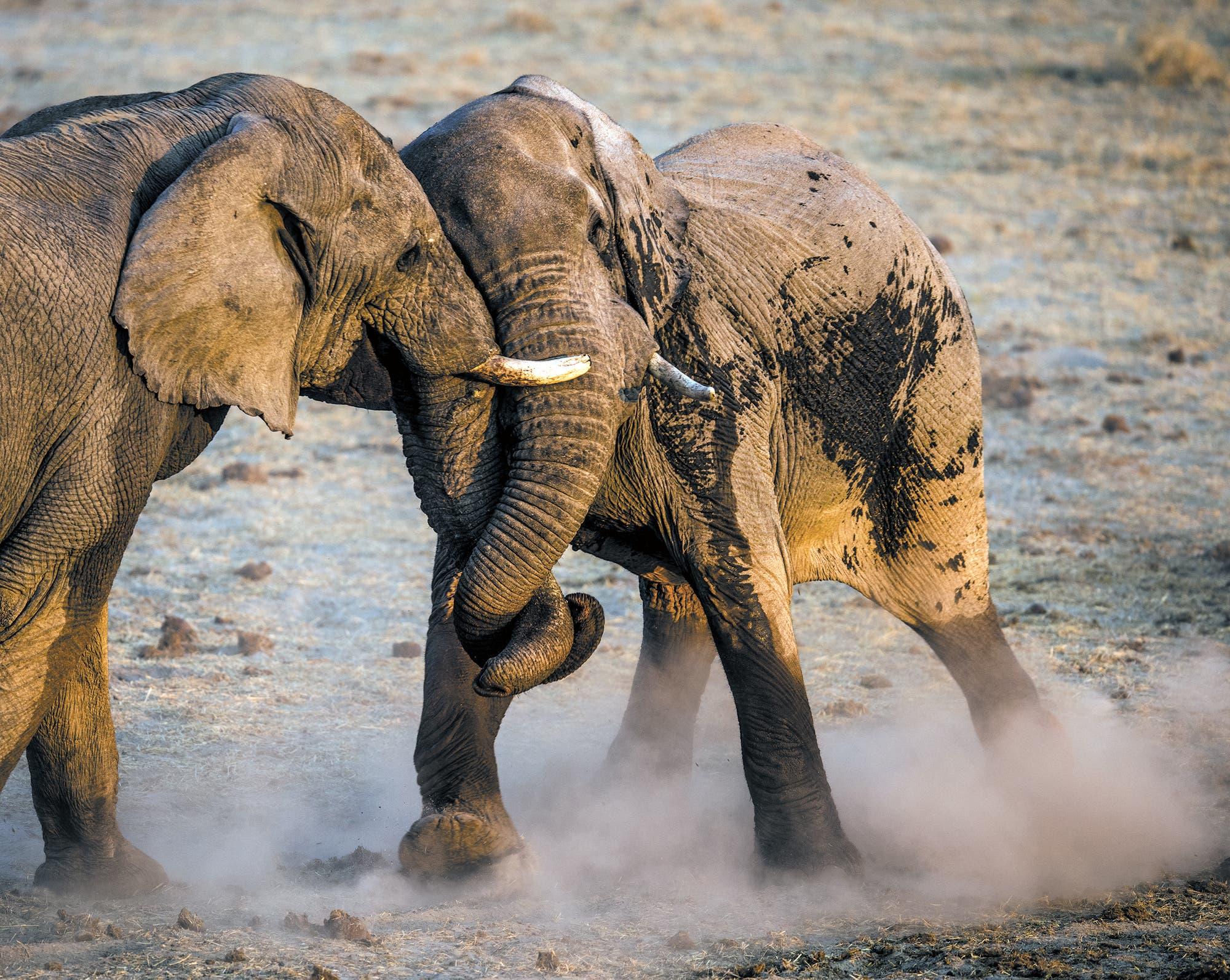 Zwei Elefanten im Schiebekampf