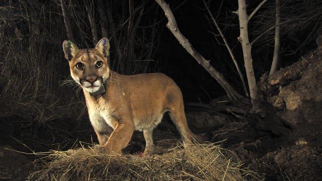 Puma aus Santa Susana
