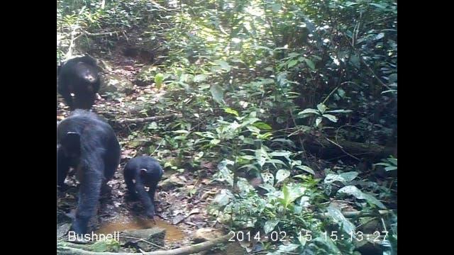 Schimpansen erstmals beim Fischen beobachtet
