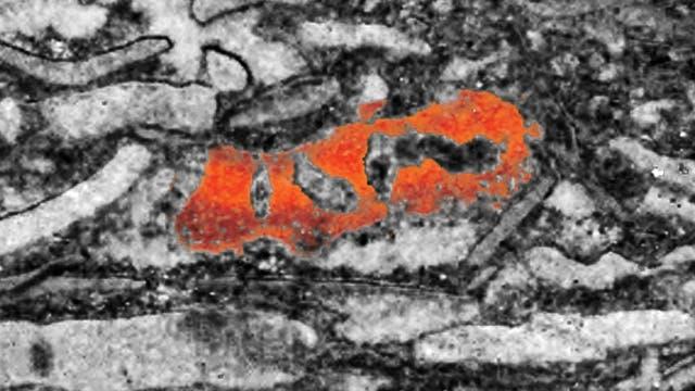 Schwammfossil