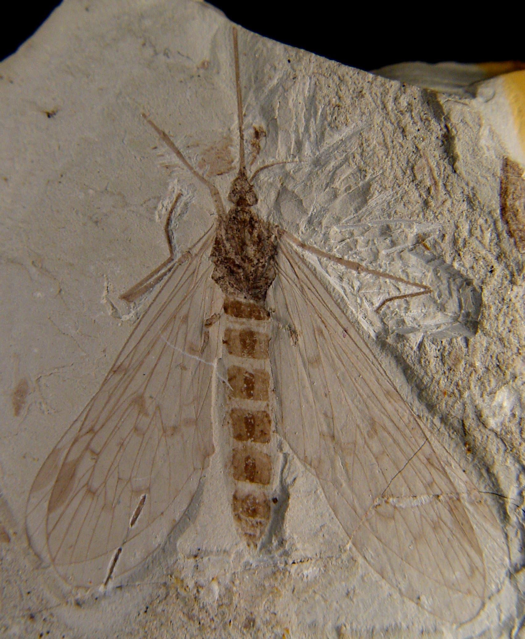 Versteinerte Skorpionfliege