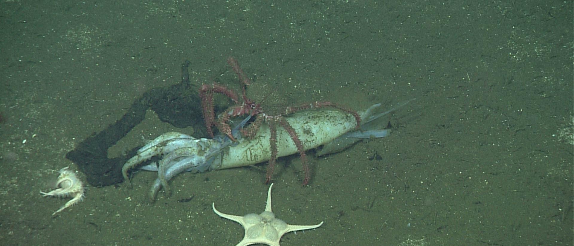 Tote Kraken nähren Leben