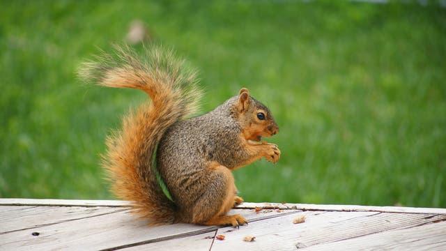 Hörnchen beim Fressen