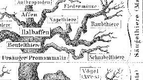 Stammbaum Haeckel
