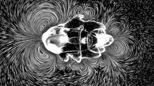 Seesternlarve erzeugt Strudel mit Körperhärchen