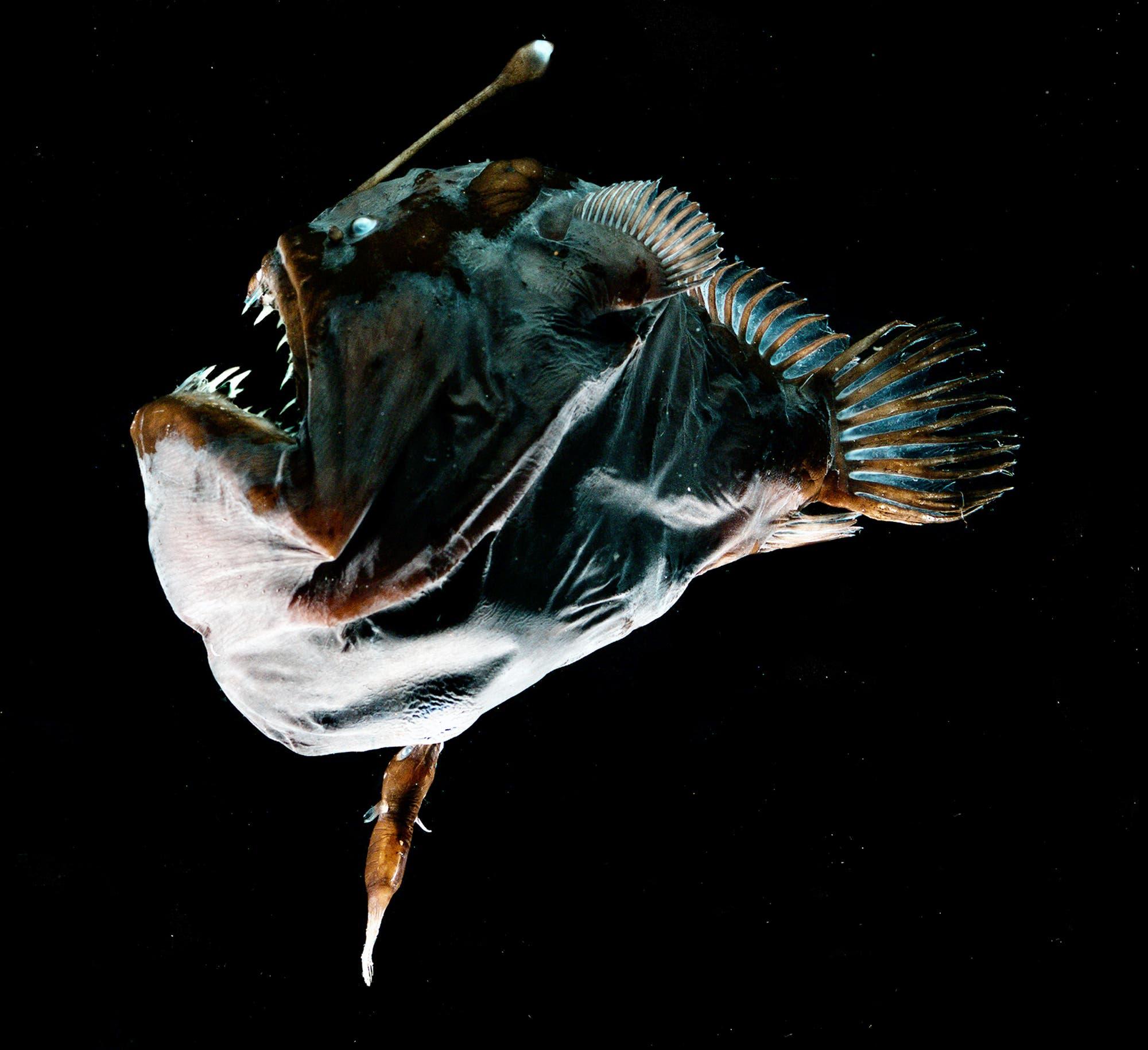 Ein buckliges Anglerfisch-Männchen hängt fest am Bauch des Weibchens.