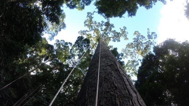 Höchster Tropenbaum der Erde