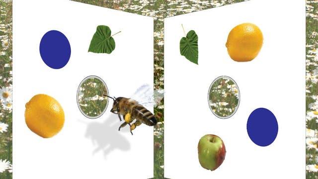 Zahlenkompetente Honigbiene