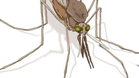 Malaria Stechmücke