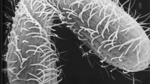 Tetrahymena thermophila kopulation
