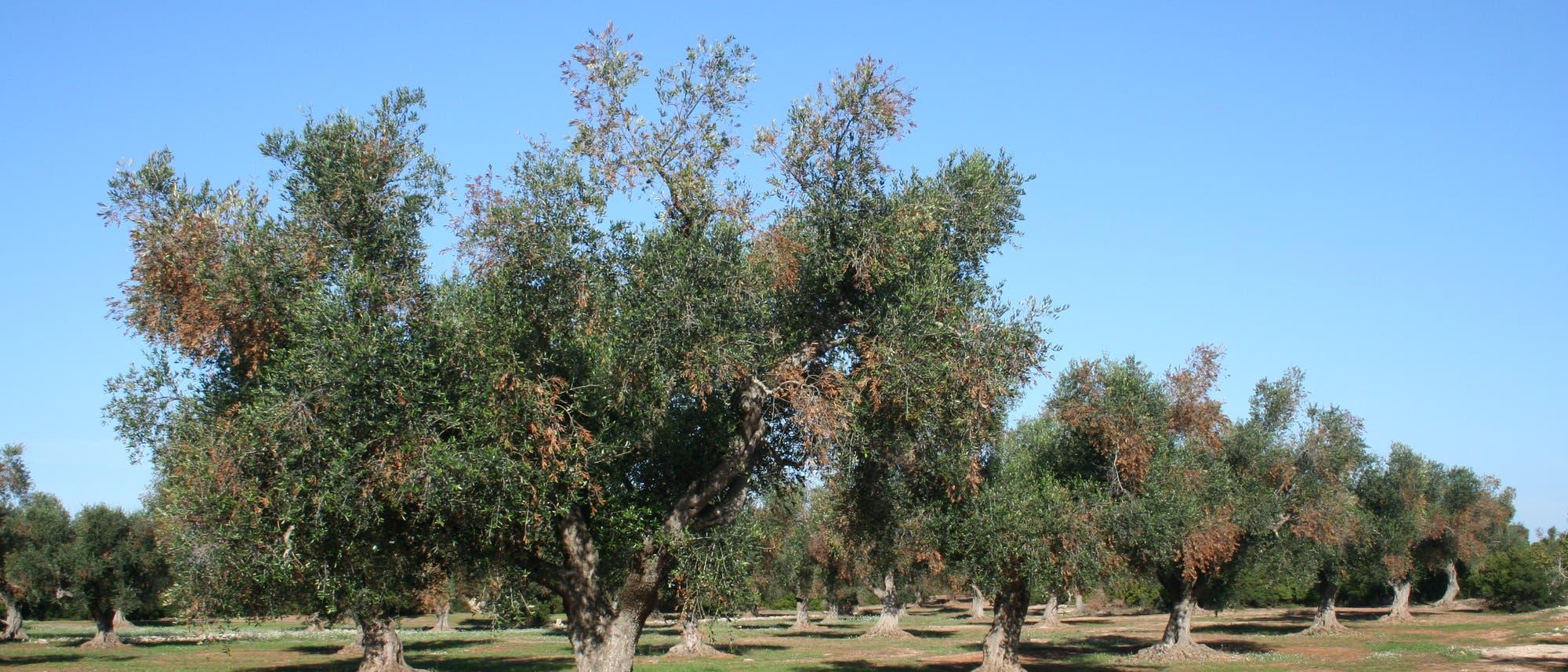 Ein von Xylella befallener Olivenhain