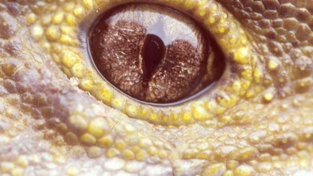 Tuatara-Auge