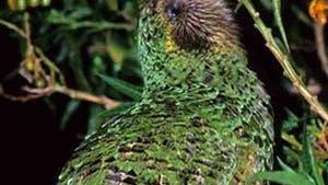 Der nachtaktive Kakapo