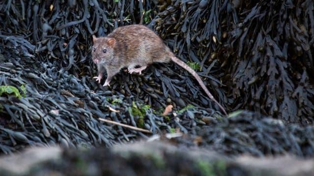 Eine eingeschleppte Ratte sucht in gestrandetem Seetang nach Futter