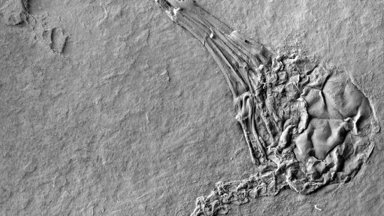 Kopf eines fossilen Nektarfressers