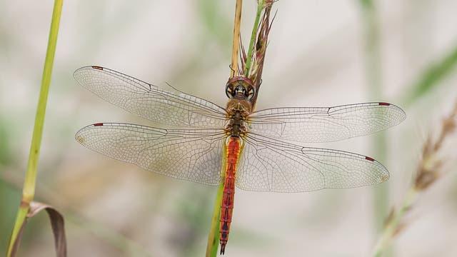 Männchen der Wanderlibelle