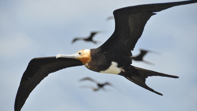 Fregattvögel sind Meister der Lüfte und ntuzen die Thermik perfekt aus