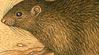 Ausgestorbene Weihnachtsinsel-Ratte