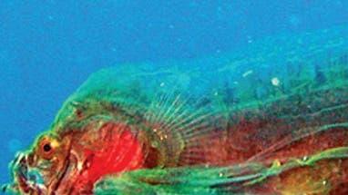 Tiefseefischlarve