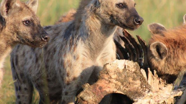 Hyänen an der Beute