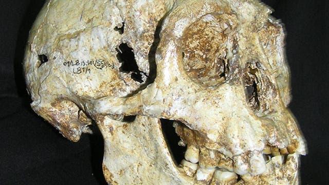 Schädel von Homo floresiensis