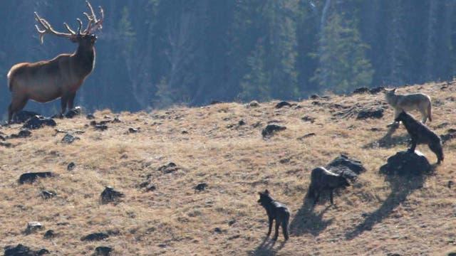 Ein Wolfsrudel hat einen Hirsch gestellt
