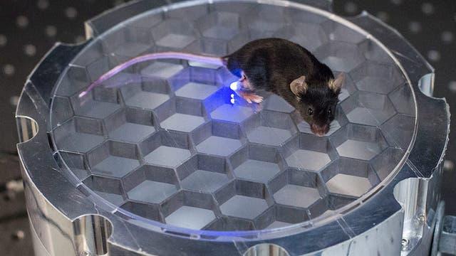 Maus in der Versuchskammer