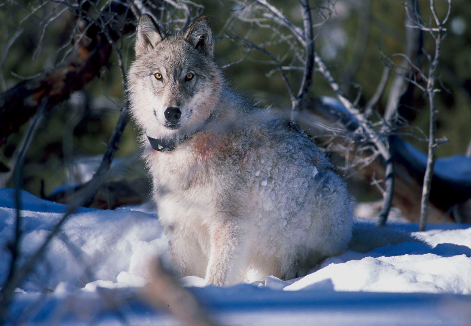 Wolf mit Sender