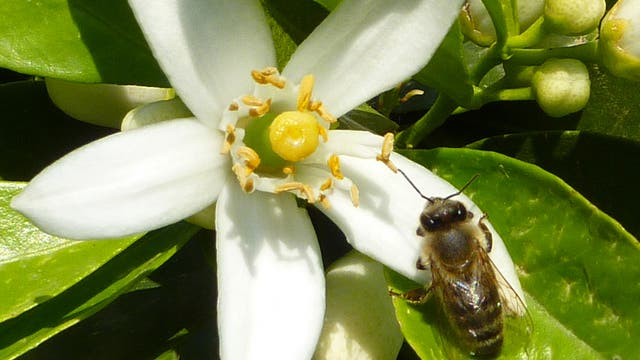 Honigbiene auf Zitrusblüte